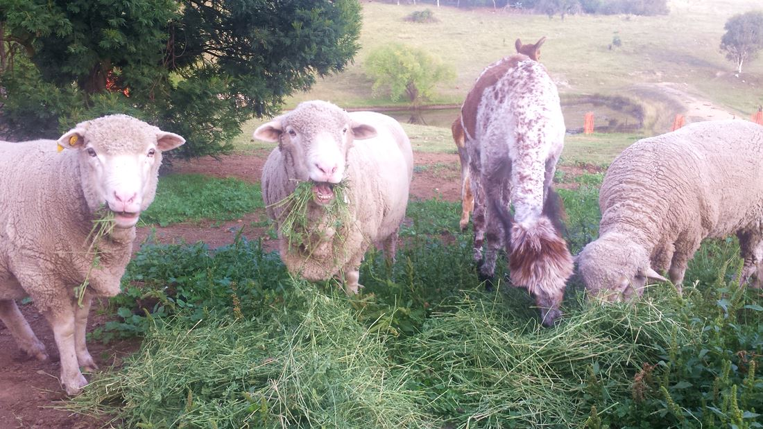 Schafe beim Essen