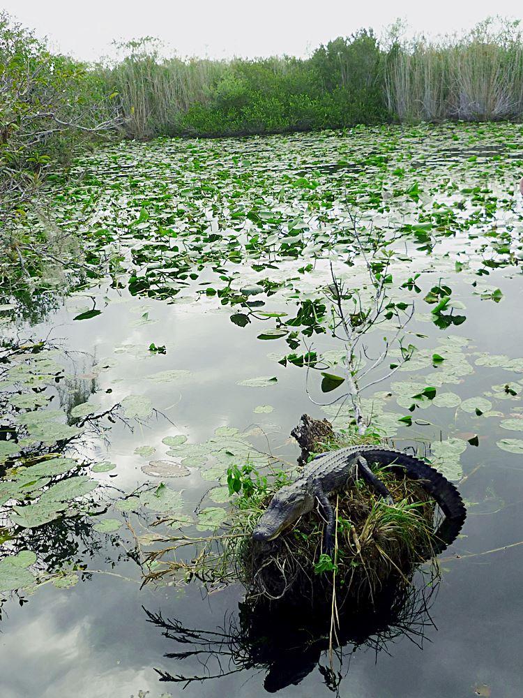 everglades-national-park-florida-krokodile-alligatoren