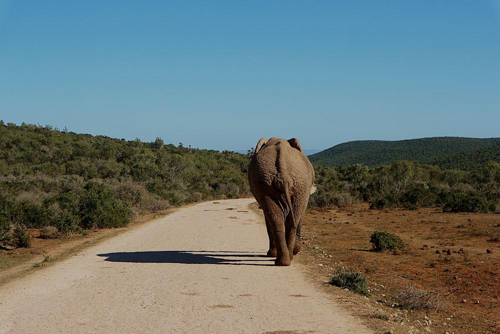 Elefant wandert