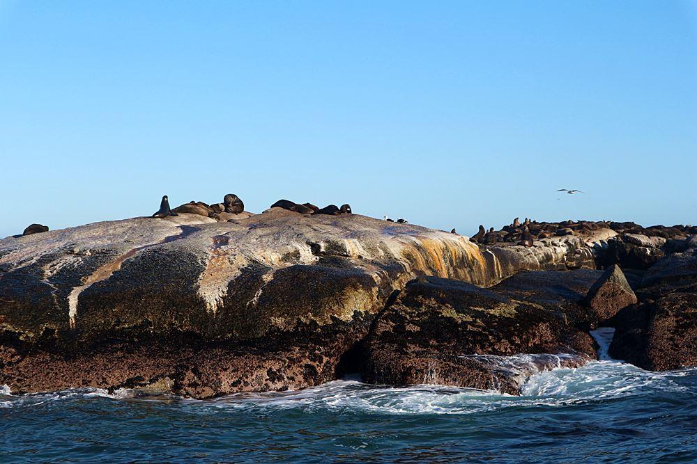 Seehunde in Suedafrika
