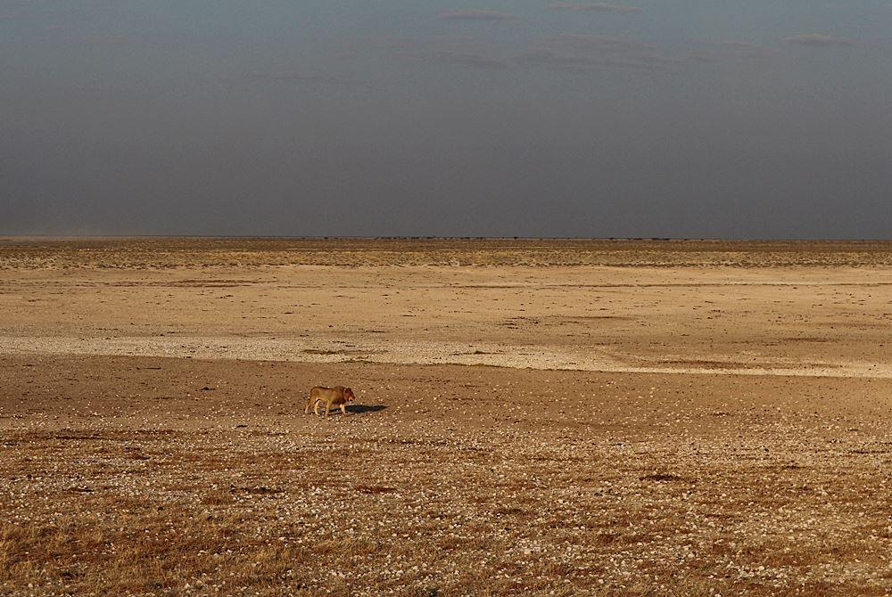 Loewe im Etosha National Park